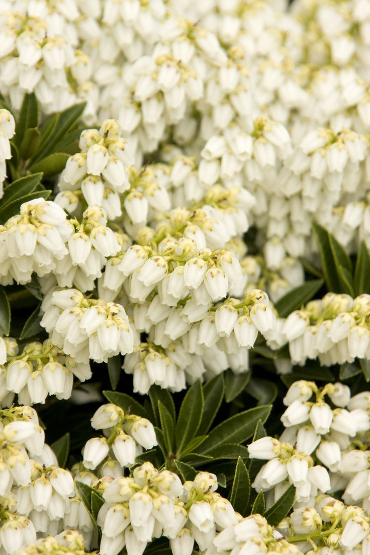 Prelude Lily Of The Valley Is A Useful Dwarf Selection