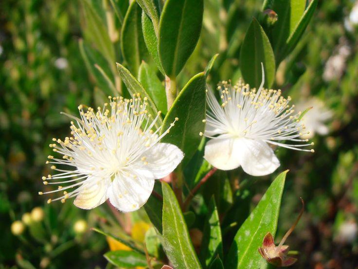 Terapia Floral Chilena - Esencias florales www.afloratuser.com