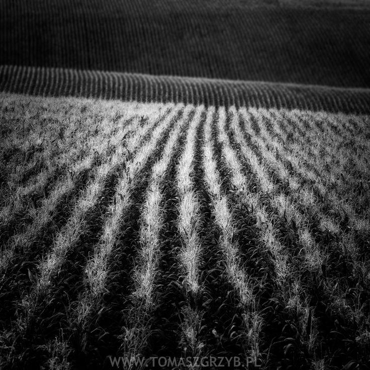 Corn © Tomasz Grzyb