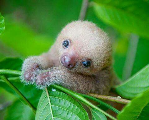 Baby sloth - they are too cute to be real! but they are.