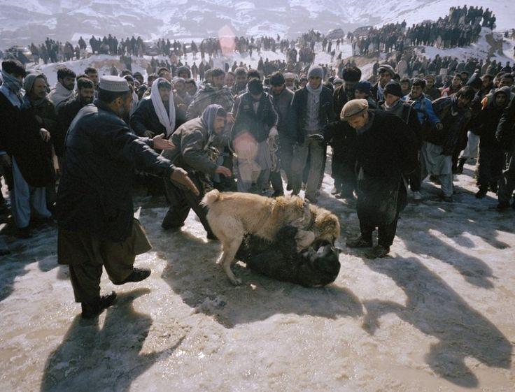 Как проводят собачьи бои в Афганистане