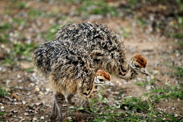 Baby ostriches spotted @ Eden Safari Country House