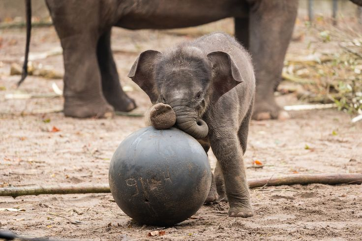 After a gestation period of 631 days (21 months), it only took a grand total of two minutes for the delivery of Artis Zoo's new Asian Elephant calf! Much more to see at ZooBorns! http://www.zooborns.com/zooborns/2016/11/elephant-calf-makes-quick-entrance-.html