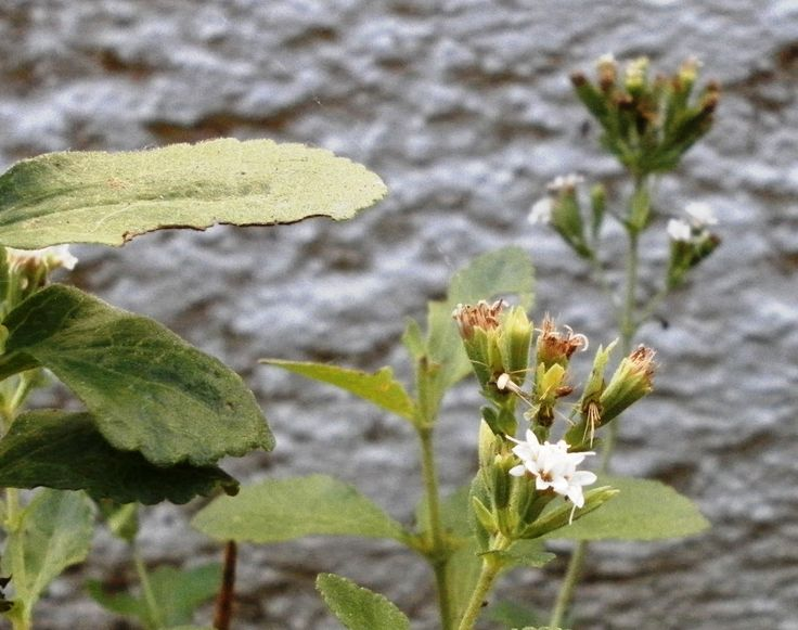 The plant stevia, flowering period, summer