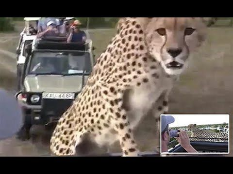 Shocking Moment a Cheetah Jumped on To Safari Bus and Refused To Move for Almost an Hour