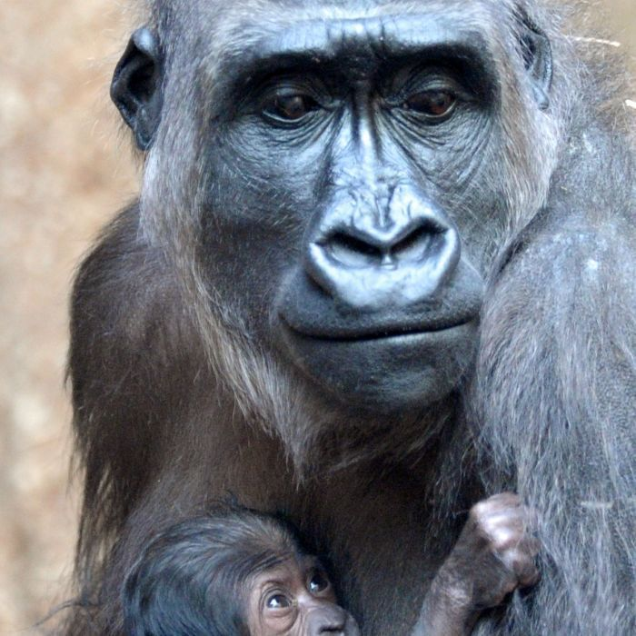 TRAGEDY...The world's largest gorillas are now critically endangered after a surge of illegal hunting in the Democratic Republic of Congo.