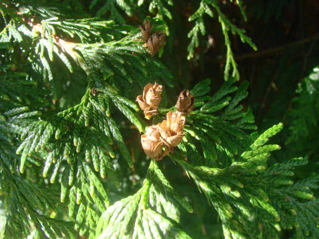 The small cones of the Western Red Cedar  Cones provide seeds for    Western Red Cedar Cones