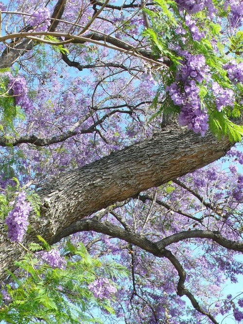 41 best jacaranda trees images on pinterest jacaranda trees celkey a beautiful jacaranda tree taken by my father gumiabroncs Gallery
