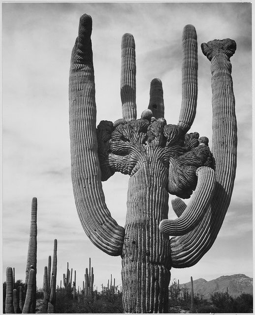 """View of cactus and surrounding area """"Saguaros, Saguaro National Monument,"""" Arizona. (Vertical Orientation) by The U.S. National Archives"""