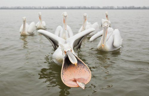 Dalmation Pelicans by Arthur Morris |    Janet's Note: In all the years I lived in Florida, I can honestly say I NEVER saw a pelican from quite this perspective. LOL!