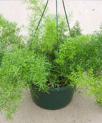how to grow foxtail fern