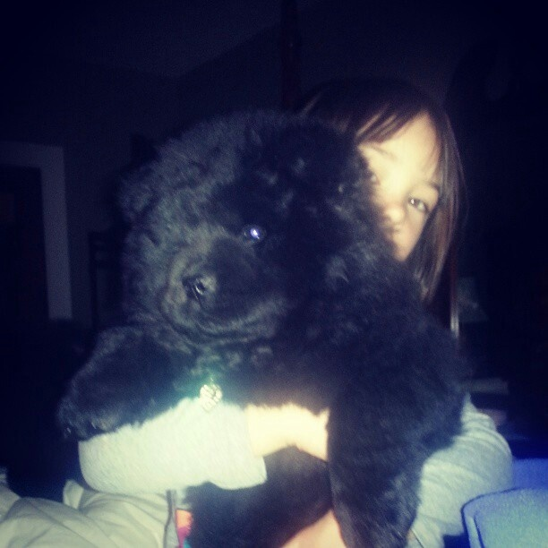 8 week old black chow chow puppy ( Bella)