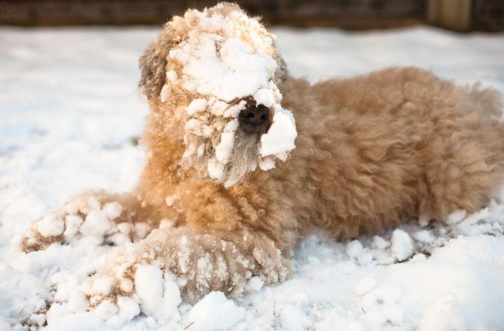 Misty! Our family soft coated wheaten terrier ♥: Doggie, Dogs Already, Coats Wheaten, Soft Coats, Wheaten Snow, Iris, Wheatenterrier, Snow Ball