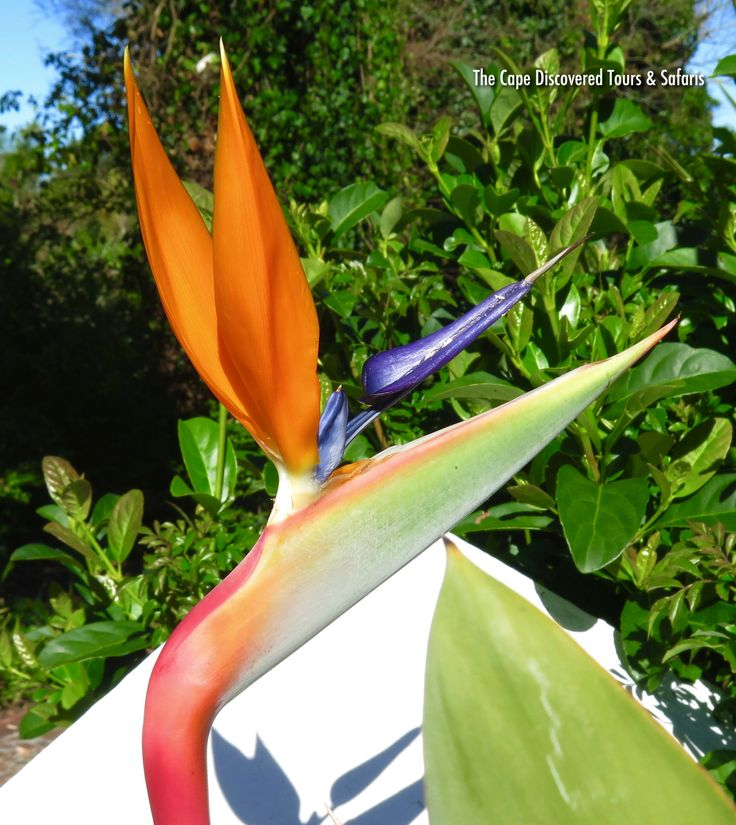 Bird of Paradise flowering in the winter sun at Zevenwacht Wine Estate.