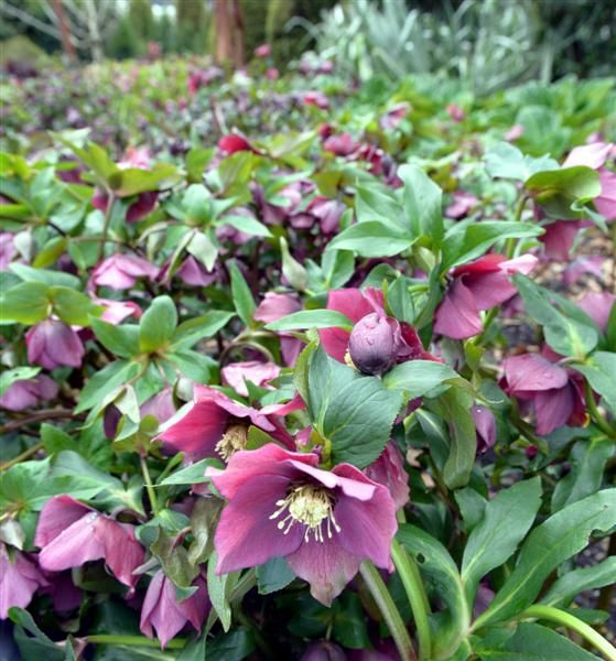 helleborus flash gordon -  Photo by gerard obrien - 50cm x 50cm clump forming