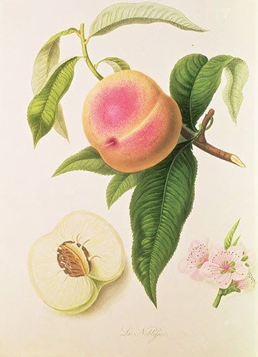William Hooker's Noblesse Peach. Fruit growers knew that if they were to protect their new varieties of fruit from appropriation by others, they had to identify them. And so a body of American botanical art began to emerge.