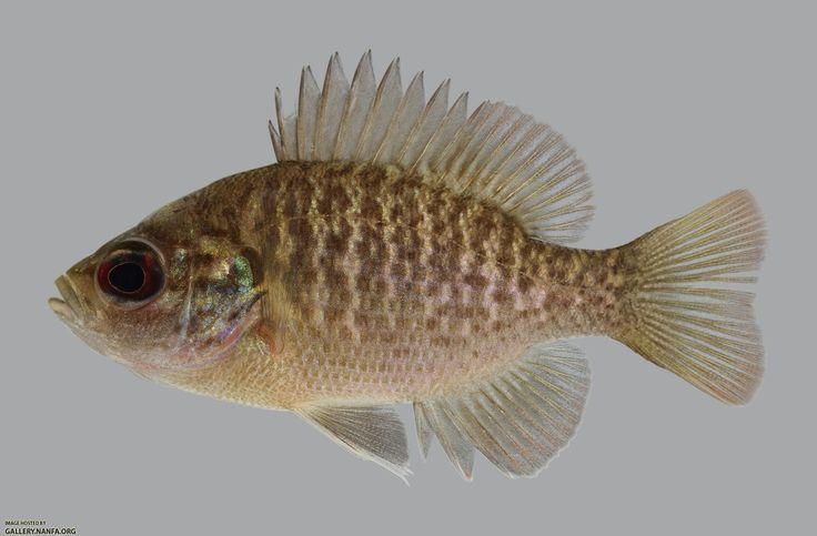 Bantam Sunfish Lepomis Symmetricus Kentucky Fish