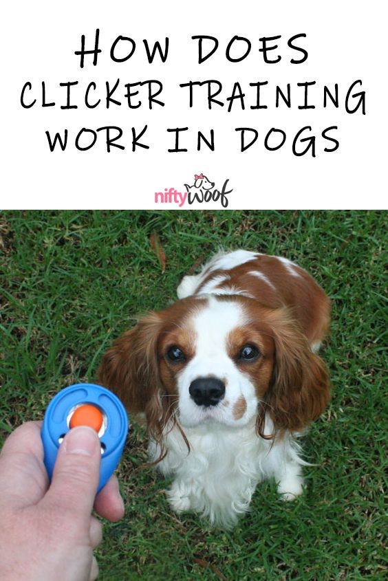 How Does Clicker Training Work In Dogs Dogtraining