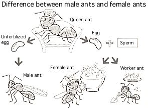 Can a queen lay eggs of certain types of ants at will?