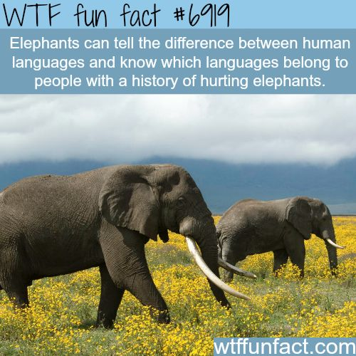Elephants - WTF fun fact