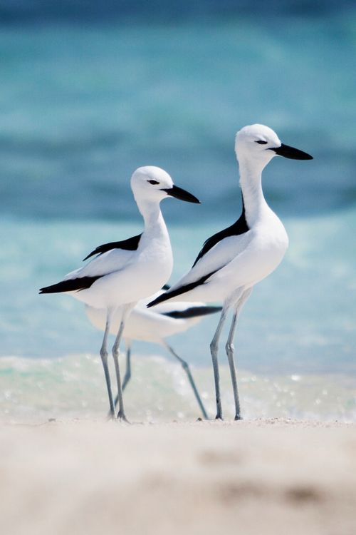 Colorful Bird s | Stunning black and white shorebirds