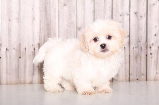 Zuchon puppy for sale in MOUNT VERNON, OH. ADN-59684 on PuppyFinder.com Gender: Male. Age: 9 Weeks Old