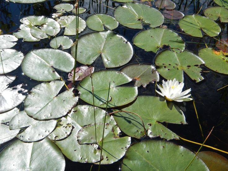 Water lily pads, Torsey Pond, Readfield, Maine
