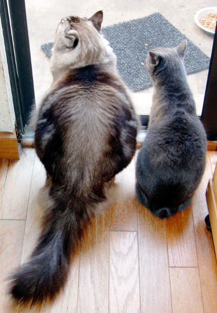 10 Quirky Facts About Manx Cats Manx cat, Cat facts, Do