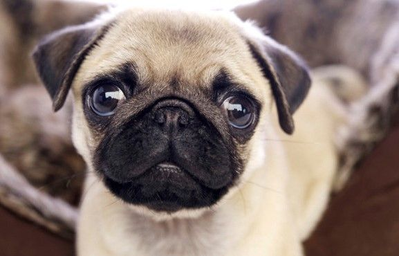 Pin By Sofia S Club On Animal Dog Breeds Popular Dog Breeds Pugs