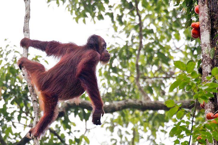 På denne oplevelsesrige 15 dages rundrejse i Borneos nordøstlige delstat, Sabah, kommer I på en spændende tur med borneos fantastiske natur som tema. I skal bl.a. besøge de varme kilder i Poring, Kinabalu parken, Klias wetlands, udforske regnskoven i Tabin, Danum dalen og junglen i Abai og Sukau. Naturligvis skal I også opleve orangutangerne i Sepilok og turen slutter af med afslappende badeferie. Så man kan roligt sige at der er lagt op til naturoplevelser i særklasse.