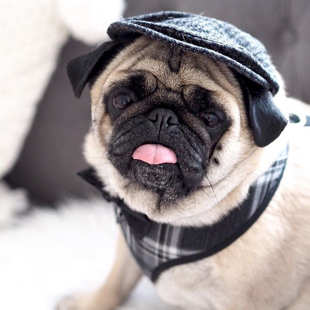 Double Tap That Tongue My Very Own Best In Show Rupert The Pug