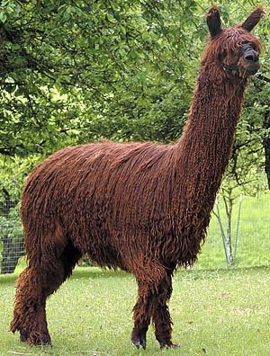 Suri alpacas have fleece that grows in long locks, like dreadlocks.  Has more sheen than the fluffy Huacaya fleece.  Both are equally soft and nearly free of course guard hairs.