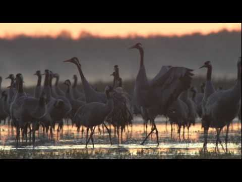 Biebrza - między jawą a snem | Official Trailer Full HD - YouTube The documentary delights the viewer with poetic sequences of pristine wildlife, a beautiful score by Dariusz Żebrowski and Mikołaj Hertel, and an original narration which centres on almost 100 Biebrza species—from wolves and moose to white-tailed eagles, cranes, grass snakes, pikes and butterflies—making them the movie's
