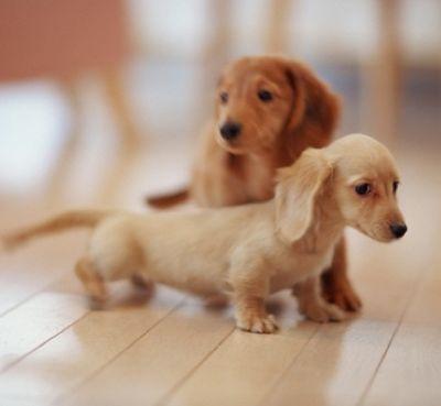 Miniature Dachshunds, OMG they are soooo cute!
