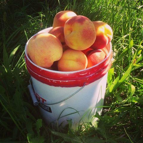 Fresh juicy peaches! Yum!  code name: drédin: U-Pick