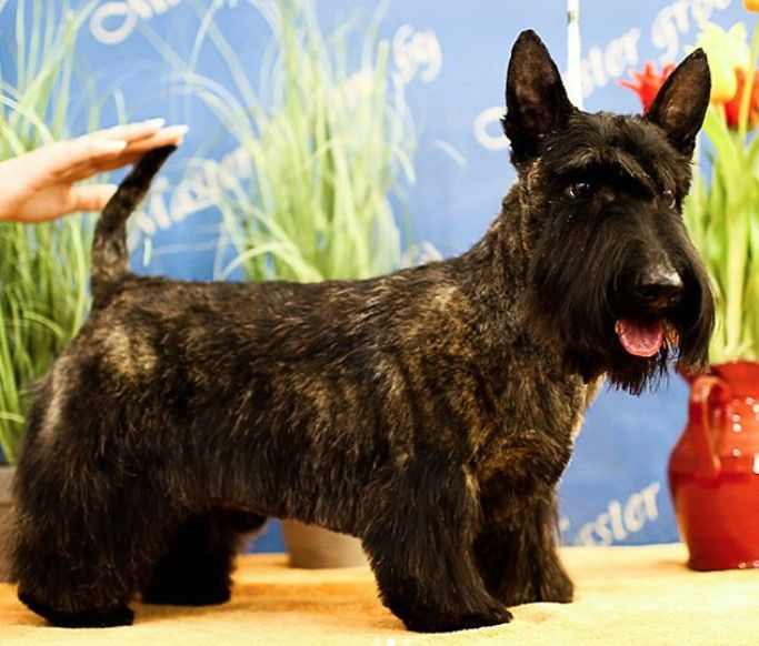14 Best Scottish Terrier Haircuts For Dog Lovers The Paws Scottie Terrier Scottish Terrier Terrier