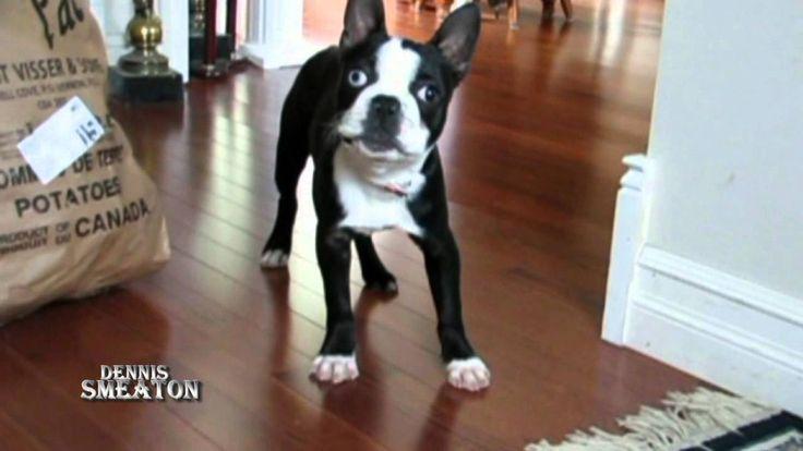 Zoe The Boston Terrier #2