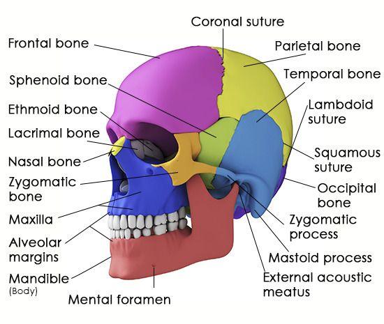 best 20+ sphenoid bone ideas on pinterest   facial bones, anatomy, Human Body