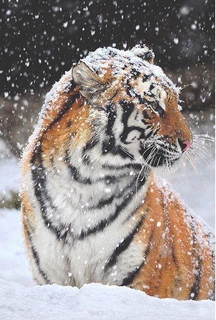 Tiger - perfect world
