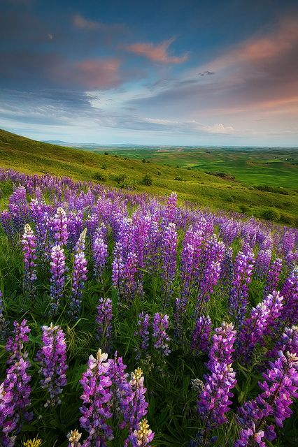 wild lupine - the hills of Montana are covered with these right about now!