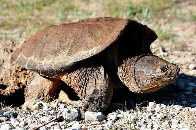 Common Snapping Turtle - Cool and Interesting Facts for Kids.                 Repinned