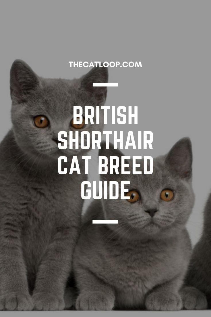 For Cat People By Cat People Cat Breeds British Shorthair Cats British Shorthair