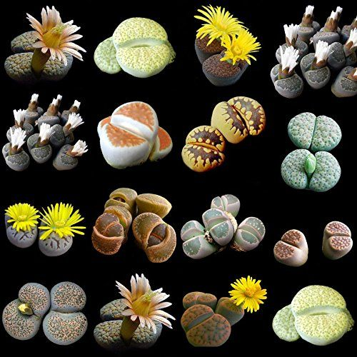 Lithops Collection - 10 x 20 Seeds CactusPlaza.com http://www.amazon.co.uk/dp/B00U15UYEQ/ref=cm_sw_r_pi_dp_snMfvb1ZP7SWX
