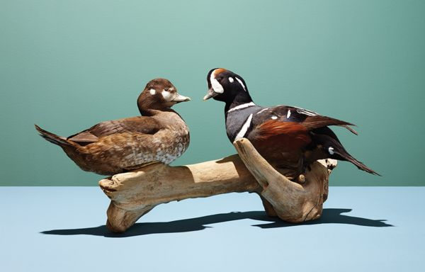 Six Prized Duck Species and Where to Hunt for Them | Field & Stream