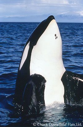 as soon as I saw those markings on his chin, I knew it was Keiko aka Free Willy. They one who started it all <3
