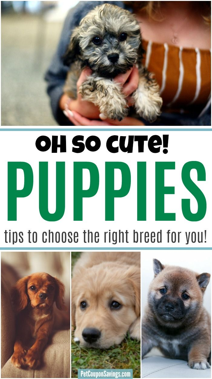 Looking For A Puppy Check Out These Tips To Find Out How To Choose The Best Dog Breed To Add To Your Family Findpuppy Puppie In 2020 Choosing A Dog Dog