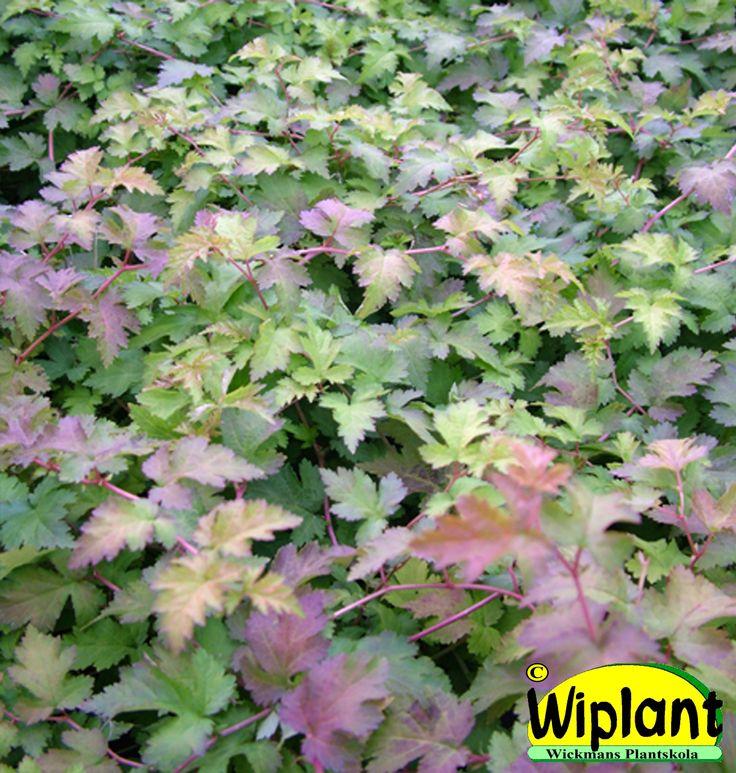 Stephanandra incisa 'Crispa', Stefanandra. Utmärkt i slänter. Fin höstfärg. Höjd: 0,4 m.