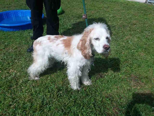 Cocker Spaniel dog for Adoption in St. Cloud, FL. ADN-712464 on PuppyFinder.com Gender: Male. Age: Senior