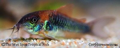 "(10) 1.25"" Corydoras aeneus Bronze Cory catfish live freshwater tropical fish"