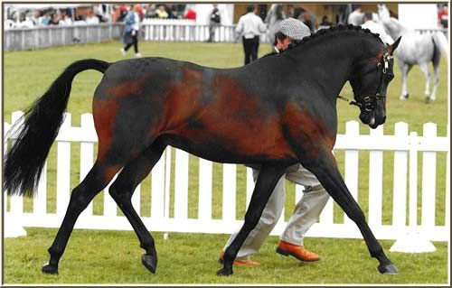 Royal Command - I LOVE this horse's markings (just beautiful!!!!)    but I HATE the bridle.   (I just had to pin this even though he has a bit on)
